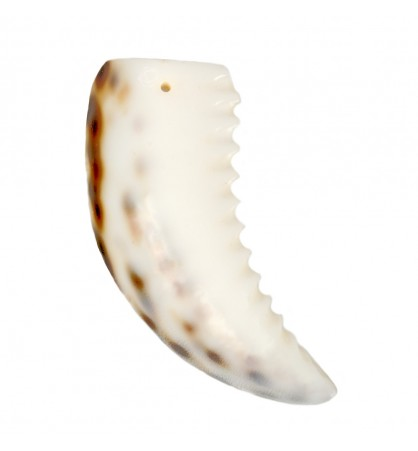 Muszle kły rekina 3.5-5cm